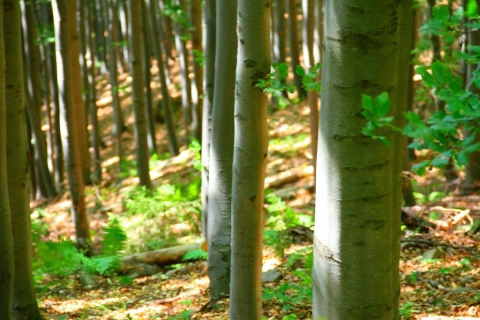 Les-takzvaný-bukový
